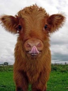 highland cow kid